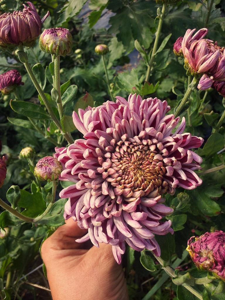Moira Chrysanthemum at Love 'n Fresh Flowers