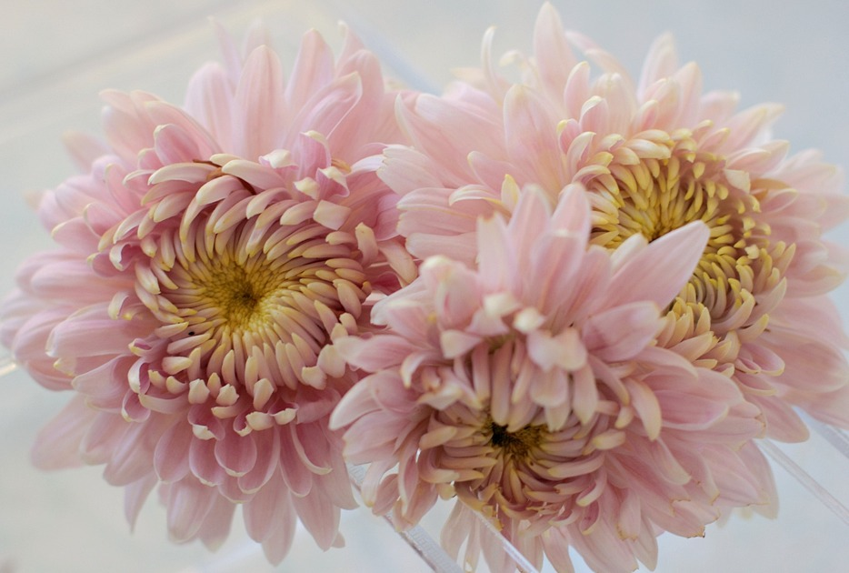 Seaton J Dore Chrysanthemums at Love 'n Fresh Flowers