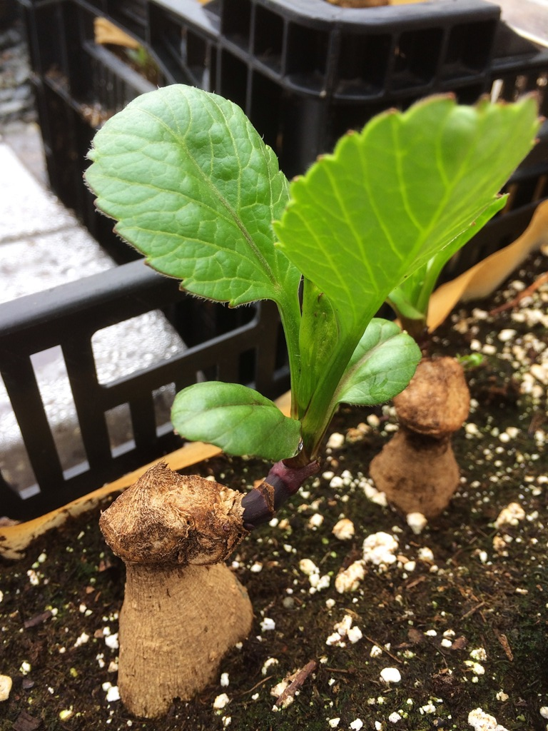how to take valerian cuttings