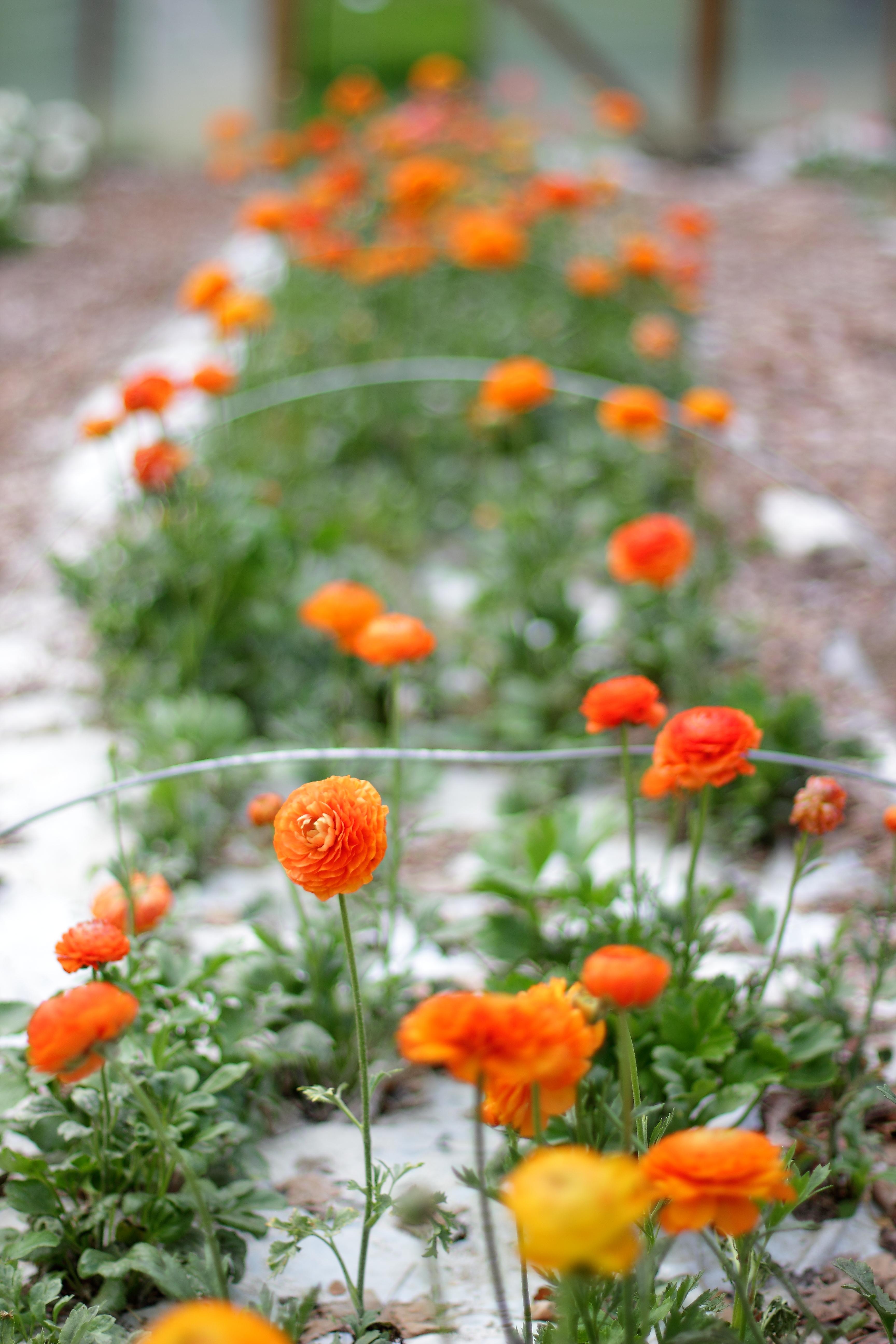 Ranunculus growing at Love 'n Fresh Flowers