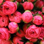 Coral Charm peonies just picked at our farm