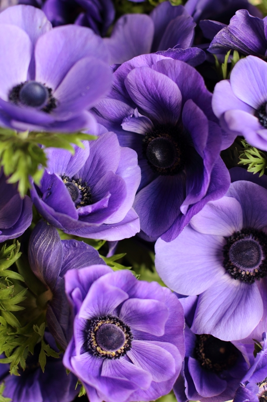 Galilee Blue anemones grown at Love 'n Fresh Flowers