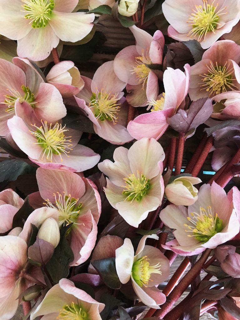 如何收获黑黎芦,使它们不会在花瓶中枯萎|| 费城的花卉农场Love'n Fresh Flowers提供的照片和提示。